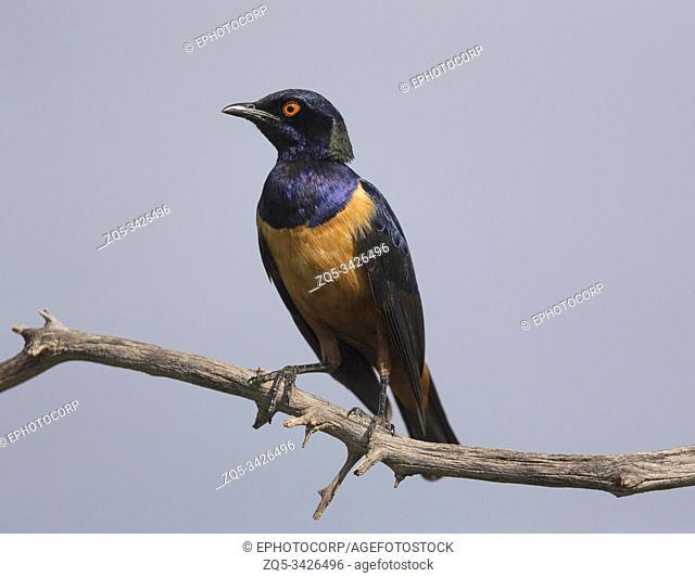 Golden Starling, Lamprotornis regius, Kenya, Africa,