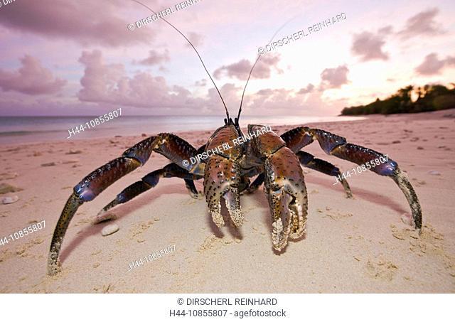 10855807, Coconut Crab, Robber Crab, Bikini Beach