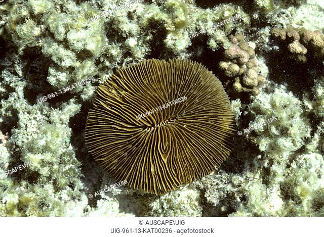 Mushroom coral, Fungia species, a solitary genus, Heron Island, Capricorn-Bunker Group, Great Barrier Reef, World Heritage Area, Queensland, Australia