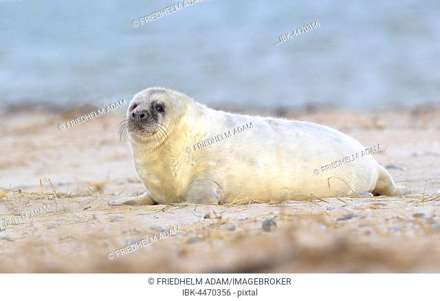 Grey Seal (Halichoerus grypus), pup on beach, Helgoland, North Sea, Germany
