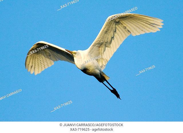 Great White Egret (Egretta alba) flying