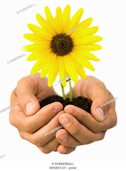 Close-up of hands holding a yellow flower growing out of soil
