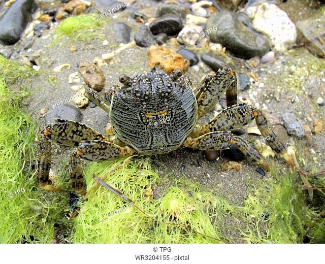 Grapsus albolineatus