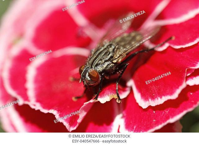 Blow fly. Calliphora vicina