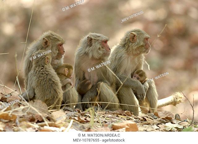 Rhesus Macaque Monkey - nursing female group, suckling young. (Macaca mulatta)