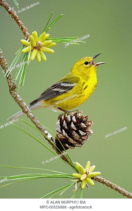 Pine Warbler (Setophaga pinus) male singing, Texas