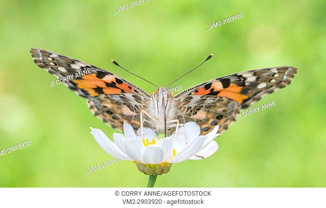Painted Lady butterfly feeding on a white daisy flower with wings spread - Fraser Valley, British Columbia Canada