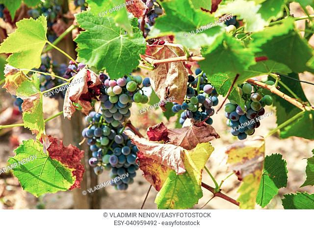Ecologically clean grapes for the production of high quality wine
