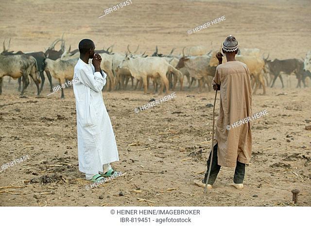 Shepherds tending a herd of Zebus (Bos primigenius indicus)