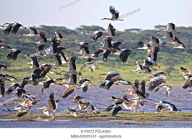 White-stork, Ciconia alba, lake, flies