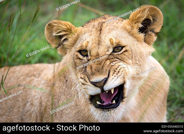 A face of a young lioness in close-up