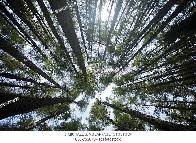 Looking up into the canopy through hemlock and spruce trees on George Island near Cross Sound, Southeast Alaska in late springtime, USA