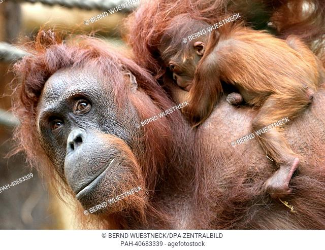 Orangutan mother Sundra and her daughter are pictured in their enclosure at Darwineum in Rostock, Germany, 01 July 2013. The young orangutan