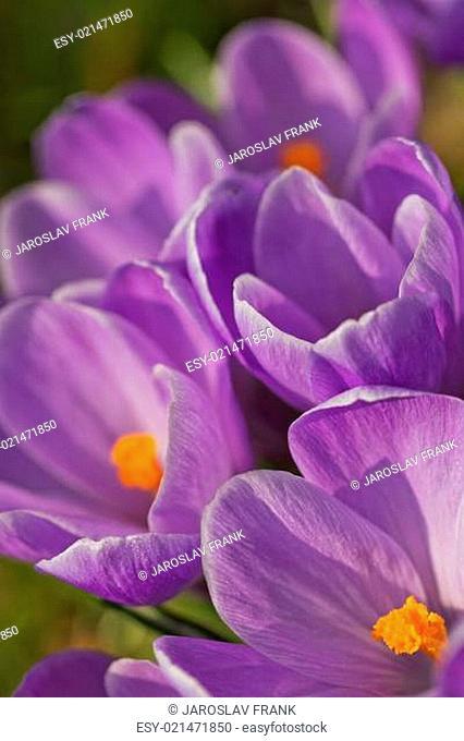 The blooming crocus. Vertically
