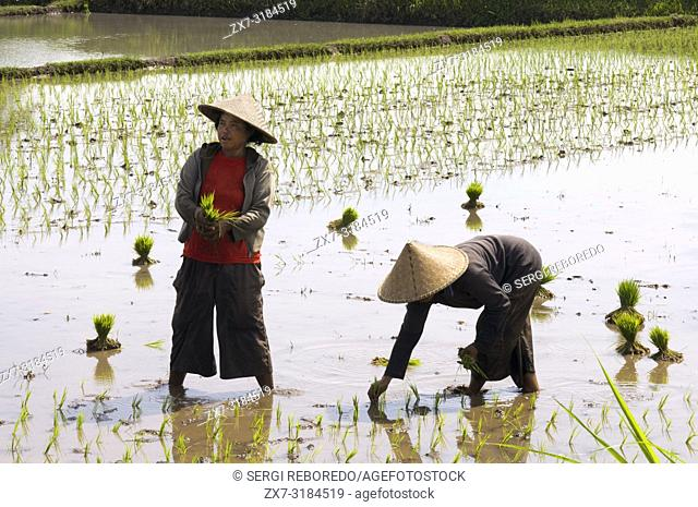 Rice fields planted in the plain next to the road that runs along the northern coast of Lombok Indonesia