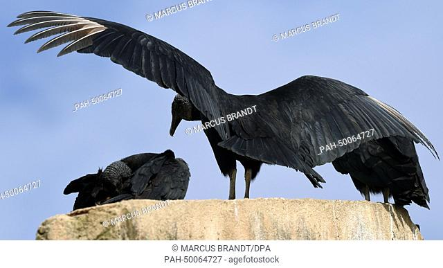 Two raven-vulture sit on a roof in Santa Cruz Cabralia, Brazil, 07 July 2014. The FIFA World Cup takes place in Brazil from 12 June to 13 July 2014