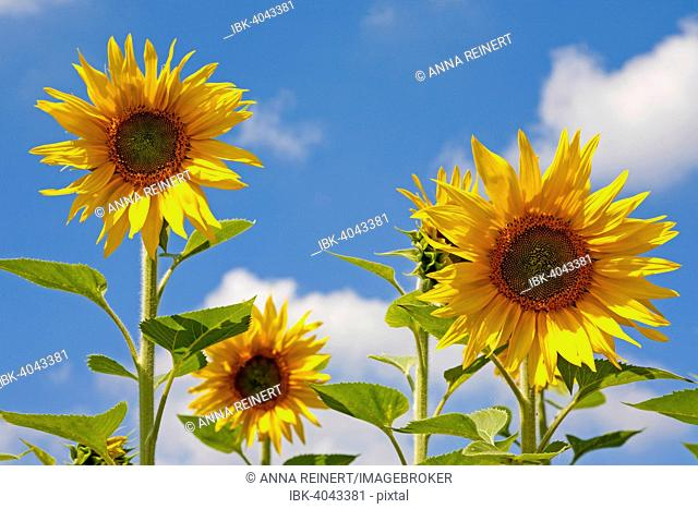 Sunflowers (Helianthus annuus), Germany