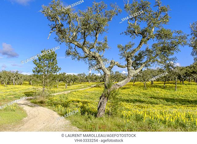 Yellow Lupins flowering in Cork Oak Dehesa near Montargil, Portalegre District, Alentejo Region, Portugal, Europe