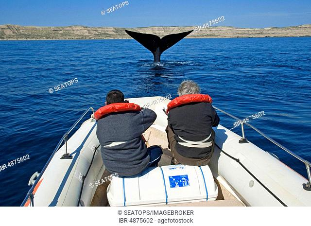 Tourists watching whales, Southern right whale (Eubalaena australis) with fluke diving, Valdez Peninsula, Patagonia, Argentina