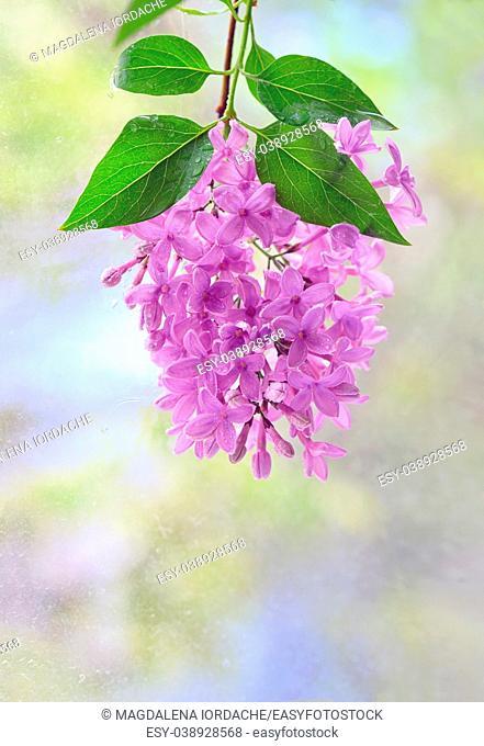 Macro image of hanging spring lilac violet flowers