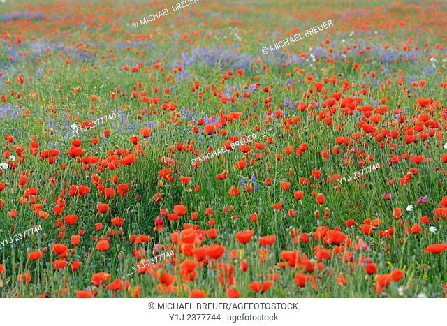 Field with Red Poppies (Papaver rhoeas), Hesse, Germany, Europe