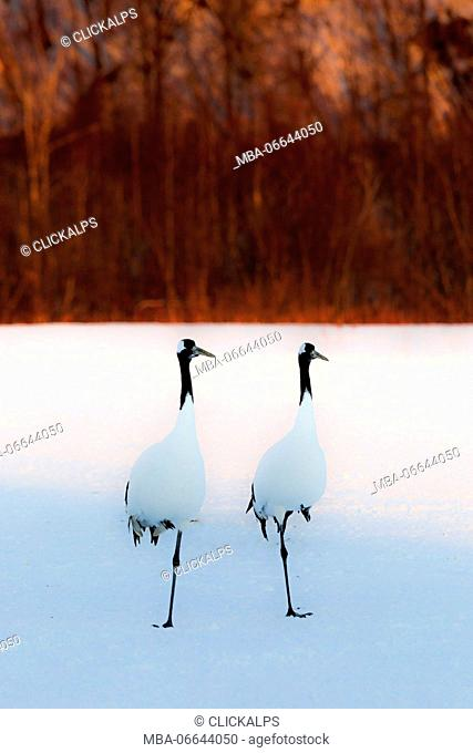 Red crowned cranes, Akan, Japan
