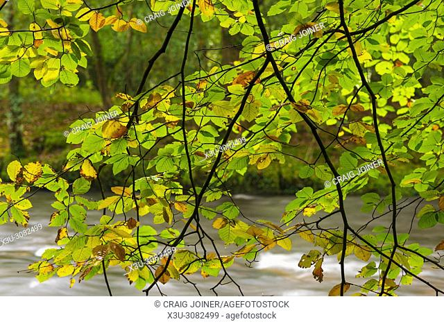 Common Beech leaves displaying their colour in autumn at Hembury Woods in Dartmoor National Park, Devon, England