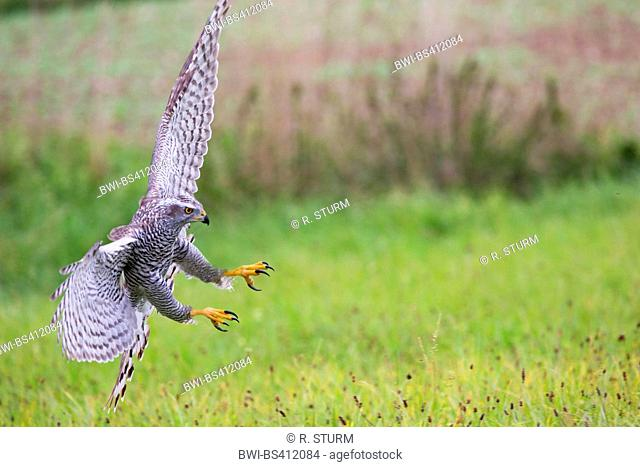 northern goshawk (Accipiter gentilis), landing on grass, Germany, Bavaria, Niederbayern, Lower Bavaria
