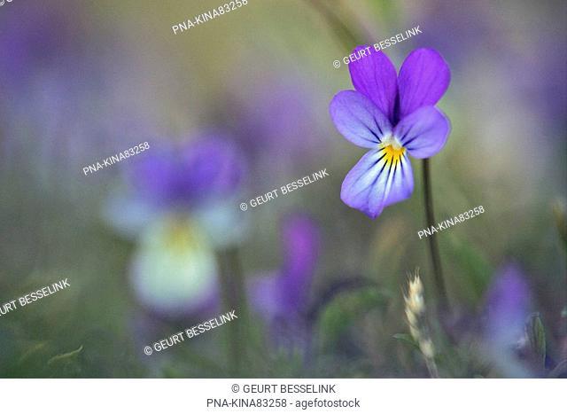 Dune Pansey Viola curtisii - National Park Duinen van Texel, De Hors, Texel, Wadden islands, North Holland, The Netherlands, Holland, Europe