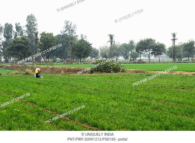 Farmer working in a field, Sohna, Gurgaon, Haryana, India