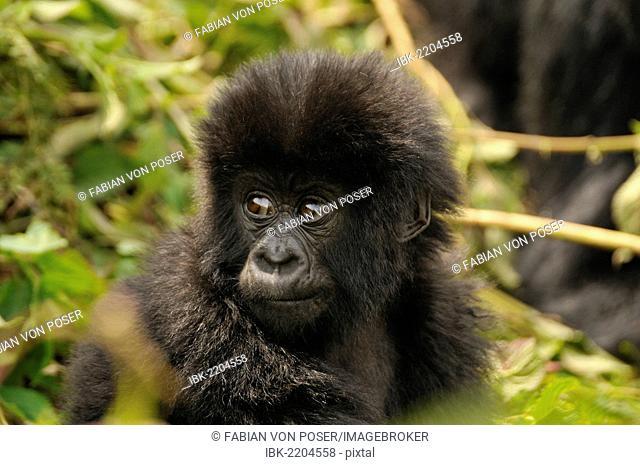 Baby Mountain Gorilla (Gorilla beringei beringei) of the Hirwa group at the foot of Gahinga Volcano, Parc National des Volcans, Volcano National Park, Rwanda