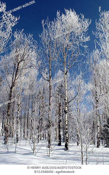 Frozen birch trees. Yellowstone National Park , Wyoming , USA