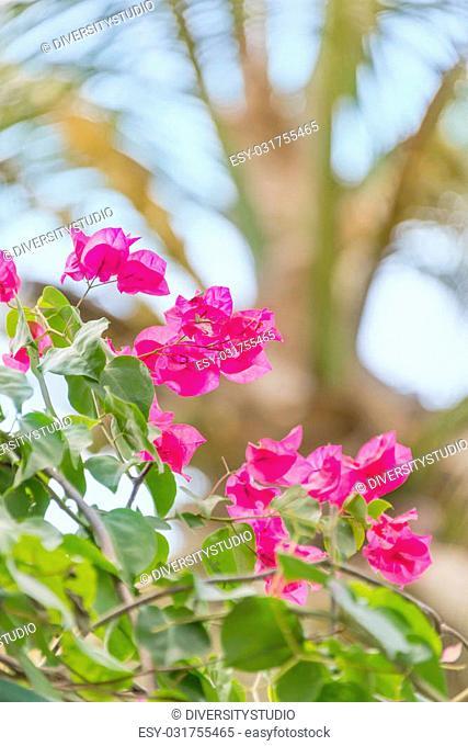 Pink bougainvillea flowers in a tropical garden