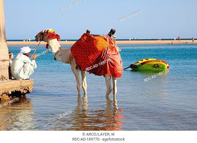Man with Dromedary, Egypt, Camelus dromedarius, One-humped Camel, Red Sea