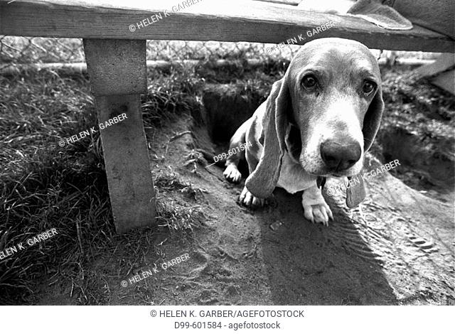 Basset Hound sitting alone under a park bench