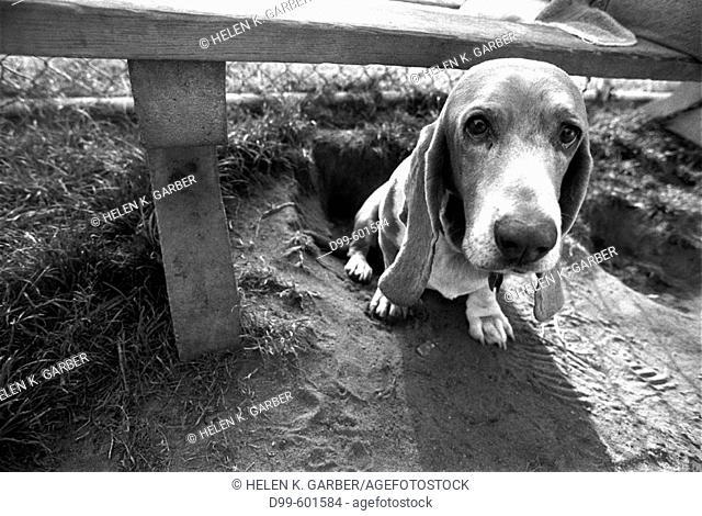 Basset Hound sitting alone under a park bench