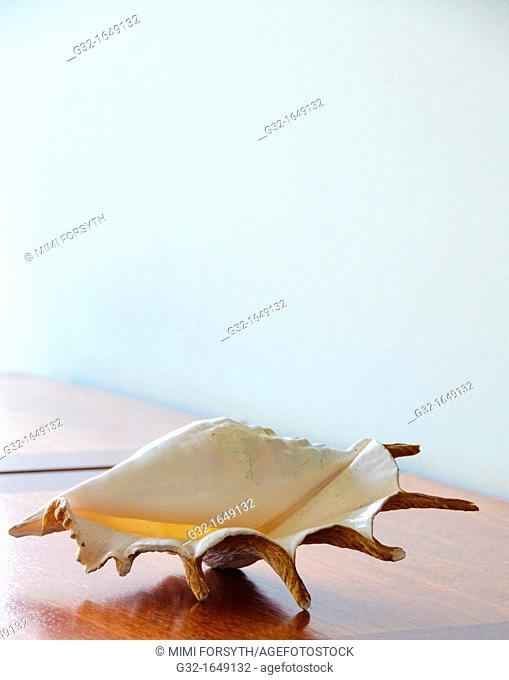 Common Spider Conch (Lambis lambis) shell on table