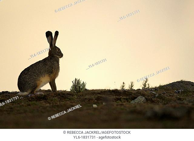 Starck's hare posing at sunset