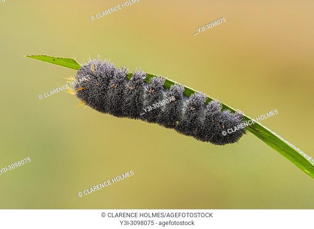 A dew covered Agreeable Tiger Moth (Spilosoma congrua) caterpillar (larva) feeds on a blade of marsh grass early in the morning