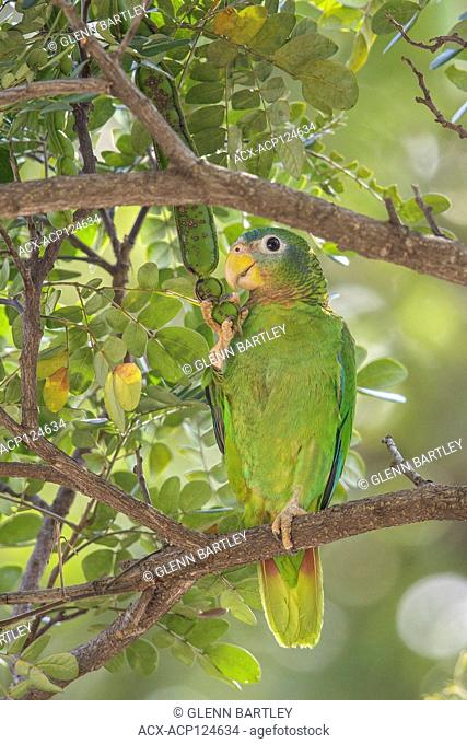 Yellow-billed Parrot (Amazona collaria) perched on a branch in Jamaica in the Caribbean