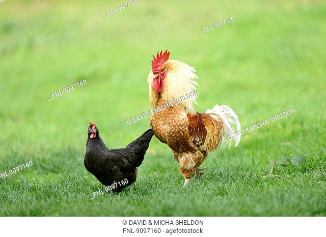 Chicken rooster with hen on a meadow