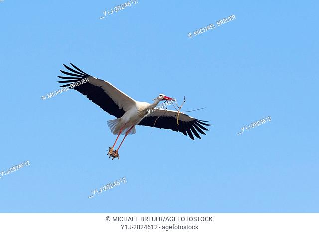 Flying white stork with nesting material, Hesse, Germany