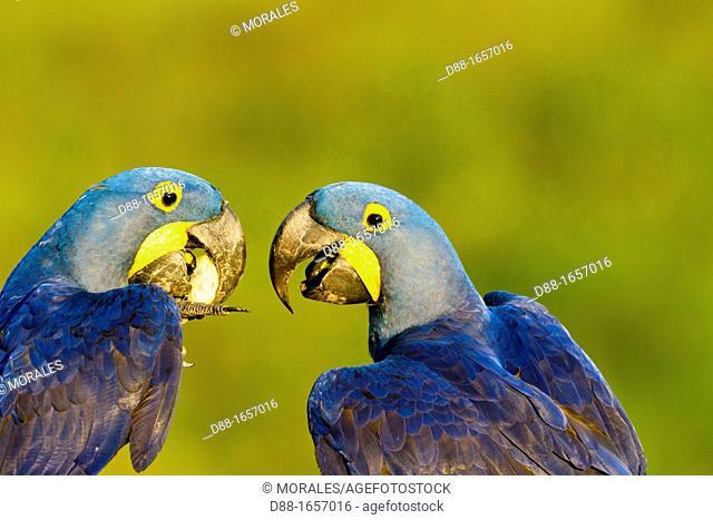Hyacinth Macaw (Anodorhynchus hyacinthinus), Pantanal area, Mato Grosso, Brazil