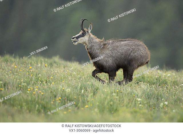 Alpine Chamois (Rupicapra rupicapra) on the run, running over a flowering mountain meadow, seems to be exhausted, wildlife, France, Europe