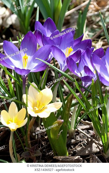 Purple and yellow Snow Crocus blooming in the early Spring