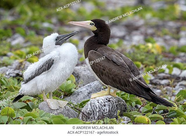 Brown Booby (Sula leucogaster) with chick, Cayman Brac, Cayman Islands, British West Indies