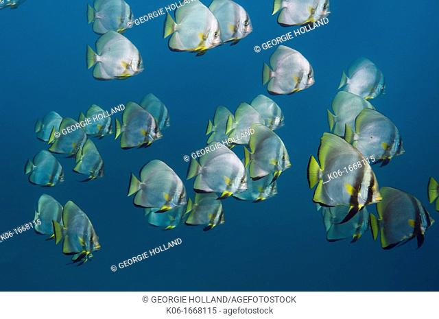 Large mixed school of Longfin spadefish Platax teira and Pinnate spadefish Platax pinnata  Andaman Sea, Thailand