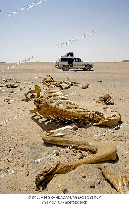 Dead camels on the trail from Dongola to Soleb through the Nubian desert which is used by the caravans from Sudan to Cairo