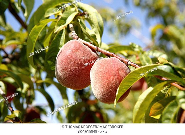 Peaches on a tree, Alpujarras, Sierra Nevada, Andalucia, southern Spain, Europe