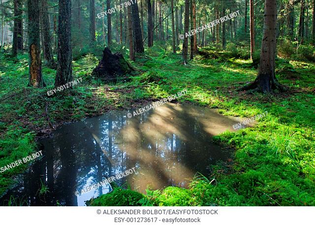 Open standing water inside coniferous stand in morning, Bialowieza Forest, Poland, Podlasie Province